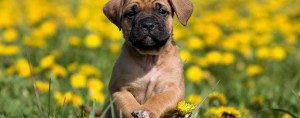 Dogo Canario puppy in yellow dandelions